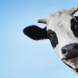 cow-face-funny-wallpaper-768x480