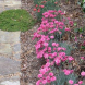 Dianthus… an ideal border plant along paths spaced 15cm apart.