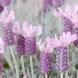 "Lavandula ""Ghostly Princess""... aptly described, especially when seen in flower through an early morning mist."
