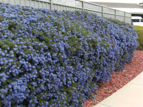 A Ceanothus that's been lightly pruned regularly since first planted.