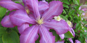 Clematis are one of the easiest plants to grow for summer colour.