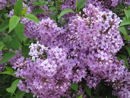 Now's an excellent time to select lilacs at garden centres, as they come into flower.