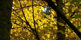 light-through-limes-bendora-arboretum-_1