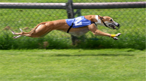 greyhound_racing-1