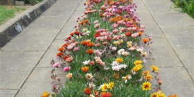 A colourful solution to a driveway… hardy, colourful gazanias.