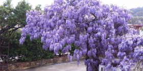 What a show, wisteria in full bloom in a Canberra garden.