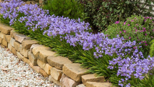 "Agapanthus ""Baby Pete""... suitable for a path border."