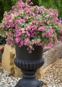 "A pot of Origanum ""Bellissimo""... a new ornamental variety."