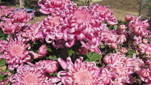 Chrysanthemums... always present a good show.