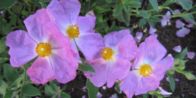 Cistus... one of many varieties and colours