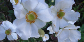 Japanese windflowers… growing to about 50cm tall, they are ideal for the back of the flower bed.