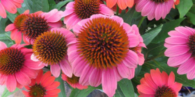 The intricacy of Echinacea or cone flower petals.