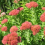 Sedum… performs year after year in drought or rainy weather.