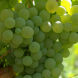 Vermentino grapes… Originally grown on the island of Sardinia, there are established Australian plantings in King Valley, Victoria, and in McLaren Vale, SA.
