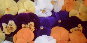 Now's the time to plant pansies, primulas and polyanthus.