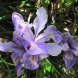 Winter-flowering iris... for colour and fragrance.