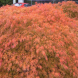 A maple in autumn… maples are renowned for their autumn colour.