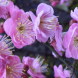 Flowering apricot blossom… delicately scented, double pink flowers and will appear in a few short weeks.