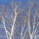 The beauty of bare silver birches against a clear, blue sky.