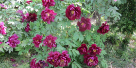 Tree peonies make a spectacular show.