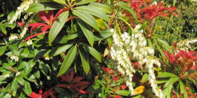 Pieris' flowers and new red leaves that appear at the same time.