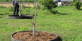 Here's an alternative idea for growing trees in lawns seen at Moruya's Sage organic garden. It keeps the grass from around the trees and keeps mulch contained to a certain extent, although it won't stop birds digging for worms.