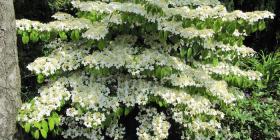 """A """"wow"""" plant... Viburnum plicatum """"Mariesii""""."""