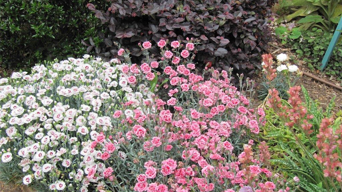 "A mix of Dianthus with purple Loropetalum ""Plum Gorgeous"" in the rear."