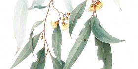 Eucalyptus sideroxylon, by Cheryl Hodges