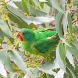 Scientists need help to protect the swift parrot.