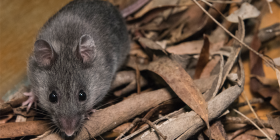 The critically endangered smoky mouse… six litters in Queanbeyan. Photo by S Cohen