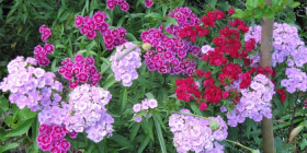 Old-fashioned Dianthus barbatus or Sweet William.