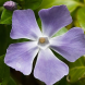 Vinca major… many Downer gardens full of invasive weeds and shrubs.