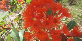"The brilliantly coloured flowers of Corymbia ""Summer Red"" photographed recently at the Botanic Gardens."