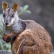 Brush-tailed rock-wallaby. Photo by Gerhard Koertner