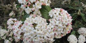 Viburnum carlessii… spring brings a wonderful fragrance.
