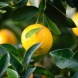 Import of all citrus products from Northern Territory and northern Western Australia into the ACT is prohibited