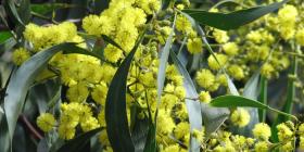 Acacia pycnantha… The Australian Golden Wattle, our national floral emblem heralds spring.