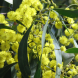Acacia pycnantha… The Australian Golden Wattle, our national floral emblem heralds spring.