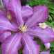 Clematis… one of the most spectacular climbers.