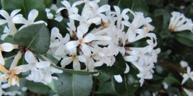 "Love a stunning fragrance? Try Osmanthus ""Heaven Sent""."