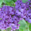 Lilacs… one of those plants that anyone can grow successfully.