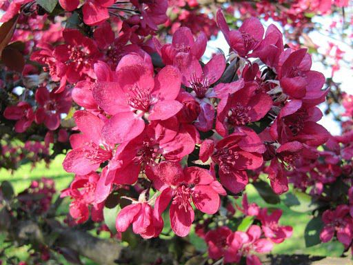 The spectacular Malus purpurea... plant now for a spectacular sight in mid-spring.