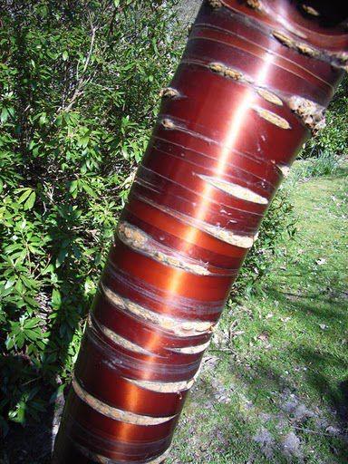 One could hug Prunus serrula for its bark.