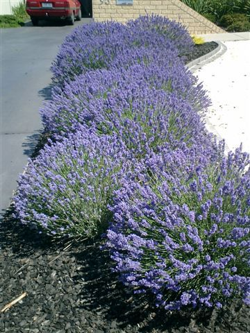 "Lavender ""Munstead"" makes the perfect low hedge."