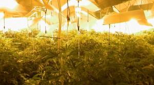 Cannabis seizure in Forde