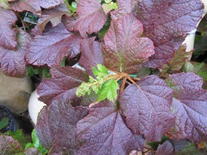 The Oak Leafed Hydrangea on the turn in autumn.