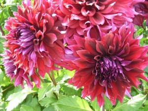 Dahlia flowers...  brightest display at this time of the year.