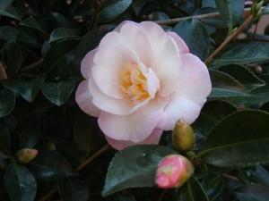 "Pastel colours of Camellia sasanqua ""Paradise Sarah""."
