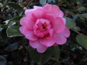 A new Camellia sasanqua awaiting registration.